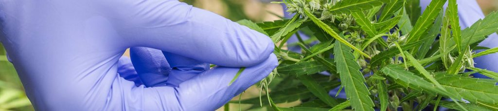 hemp plant is disease resistant