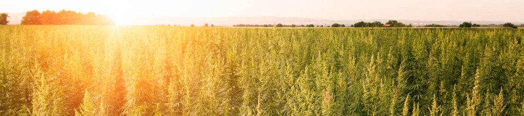 France is the leading Hemp producer in Europe